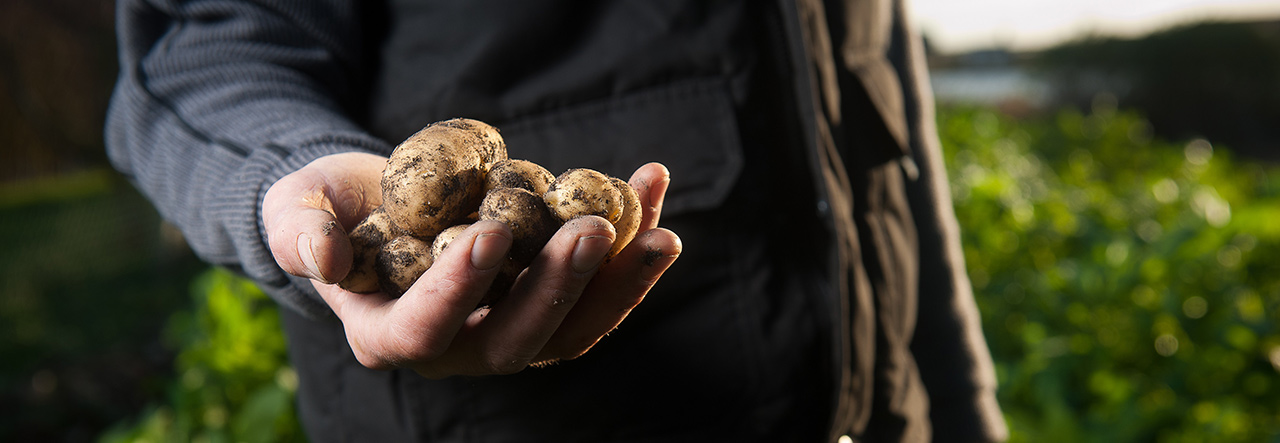 A farmer holding potatoes