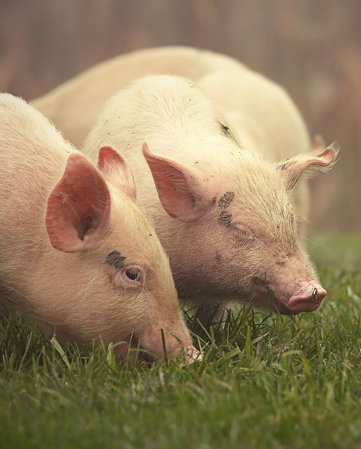 An image of pigs